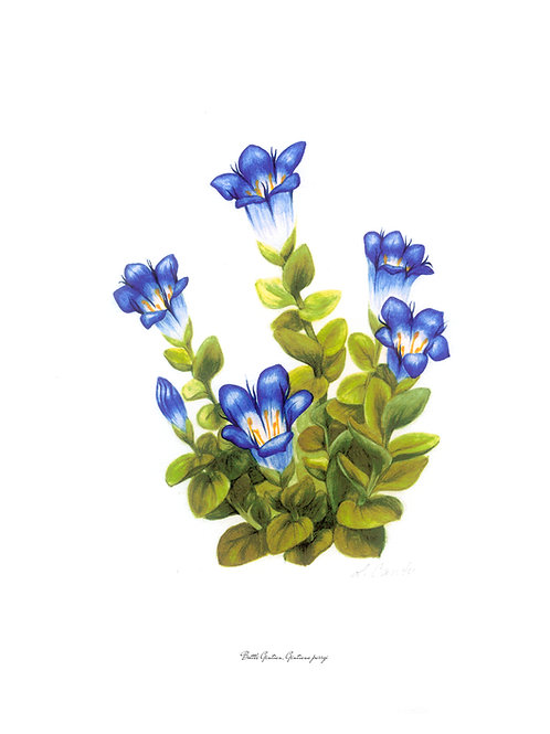 Wildflower Botanical Print - Bottle Gentian