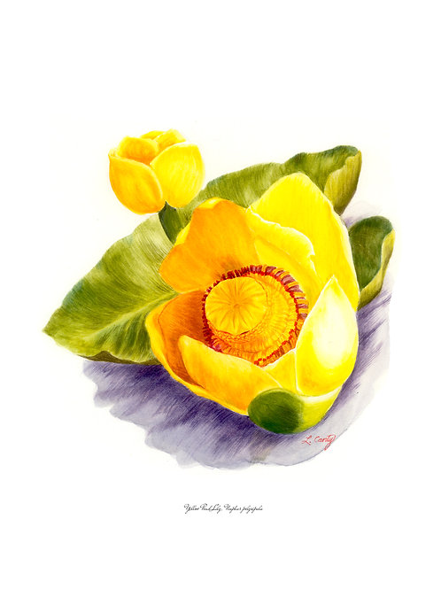 Wildflower Botanical Print - Pond Lily