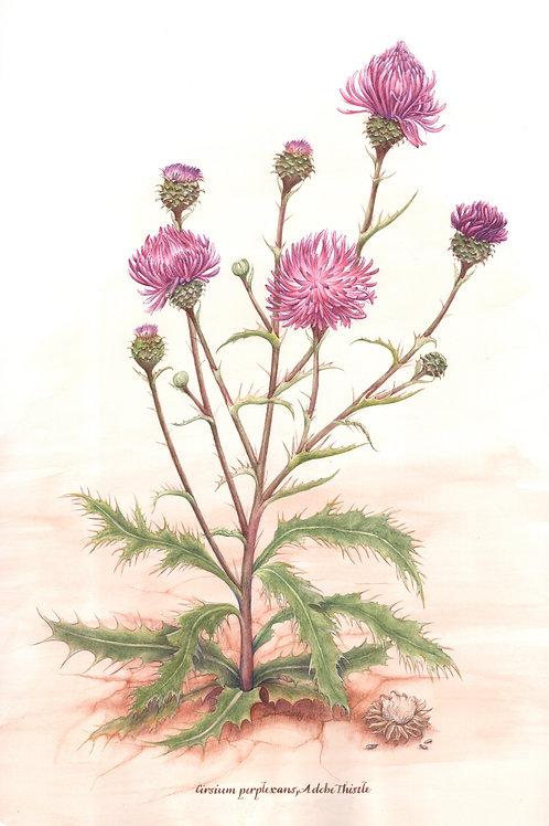 Wildflower Botanical Print - Adobe Thistle