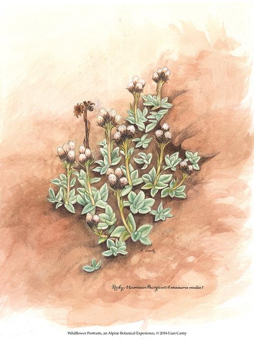 Alpine Botanicals -Rocky Mountain Pussytoes