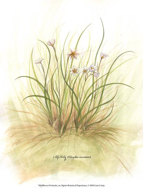Alpine Botanicals - Alp Lily