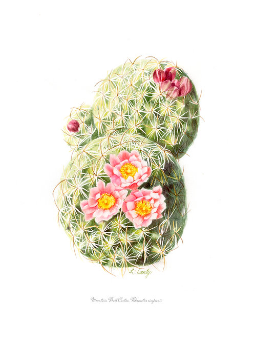 Wildflower Botanical Print - Ball Cactus