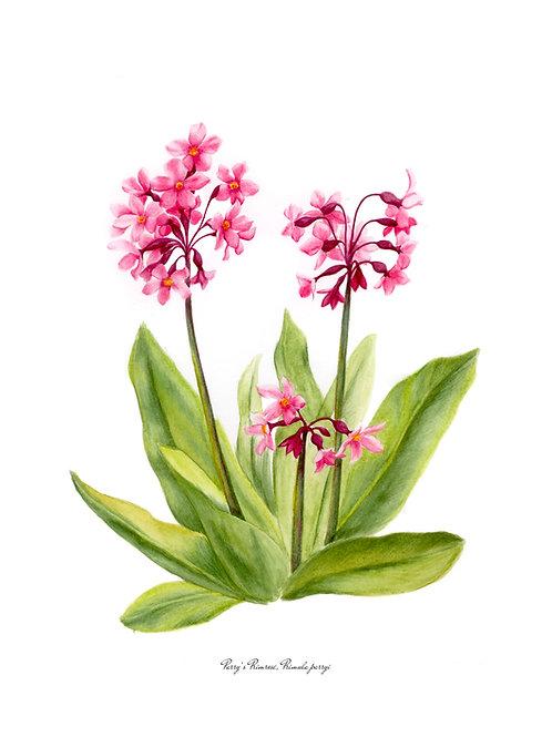 Wildflower Botanical Print - Parry's Primrose