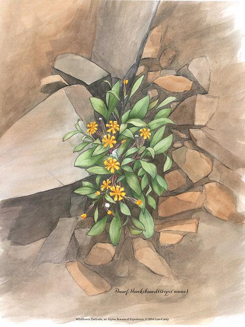 Alpine Botanicals - Dwarf Hawksbeard