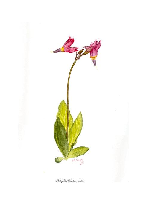 Wildflower Botanical Print - Shooting Star