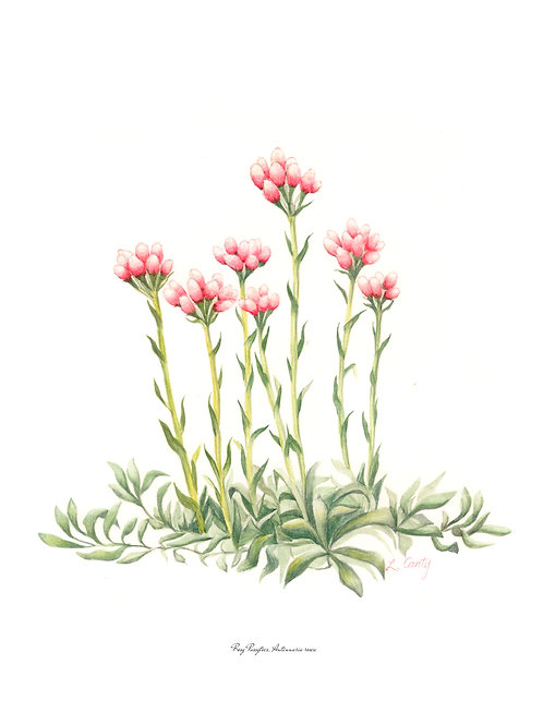 Wildflower Botanical Print - Pussytoes
