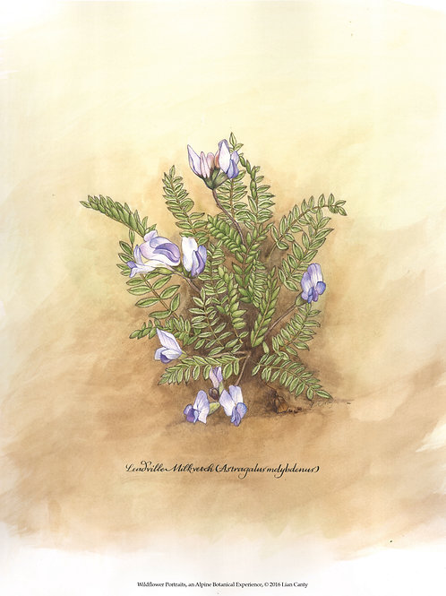 Alpine Botanicals - Leadville Milkvetch