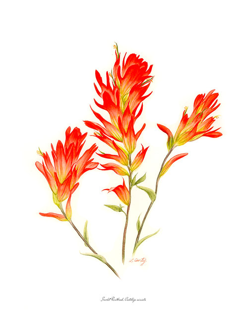 Wildflower Botanical Print - Scarlet Paintbrush