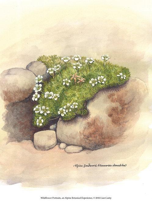 Alpine Botanicals - Alpine Sandwort