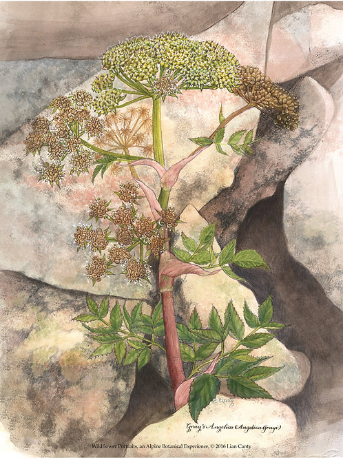 Alpine Botanicals - Gray's Angelica