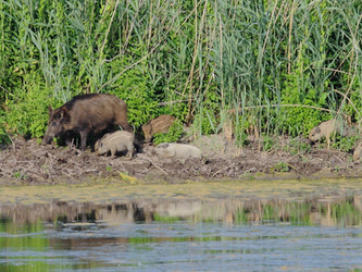 Die Pille für das Wildschwein ist machbar – auch, wenn es den Jägern nicht passt