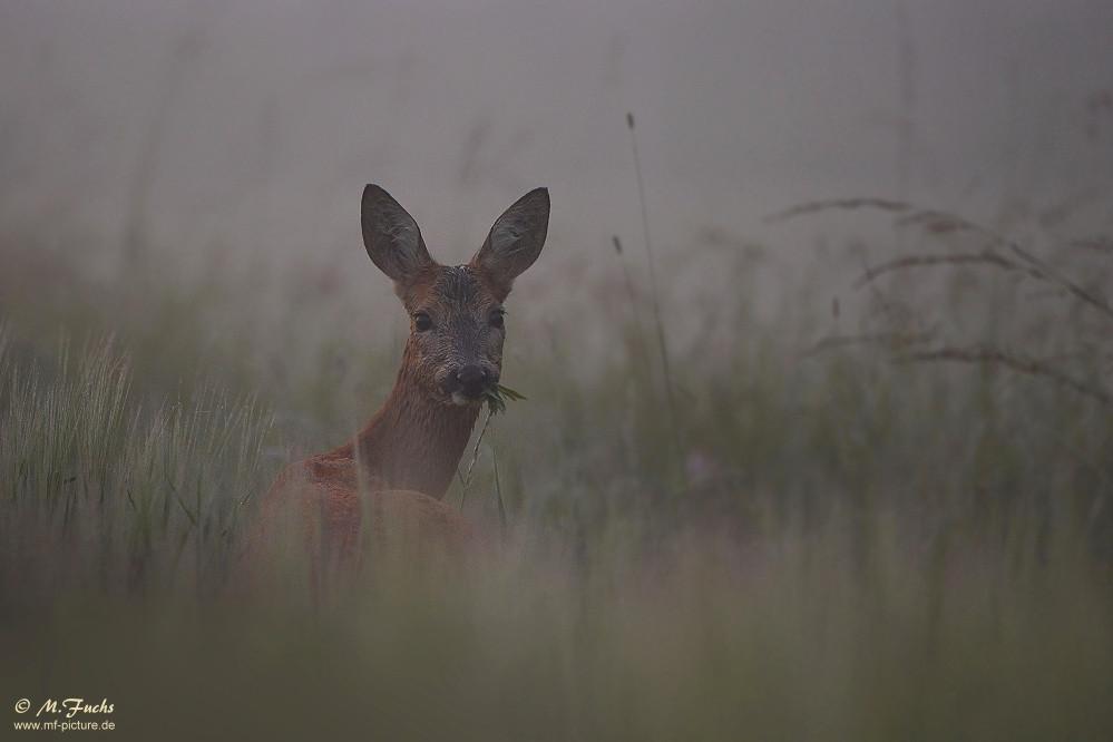 Reh bei der Äsung im hohen Gras, Bundesjagdgesetz