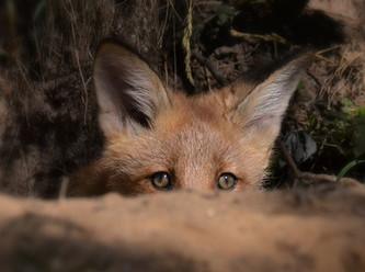 Fünf Jahre ohne Fuchsjagd – keine Zunahme der Zahl der Füchse in Luxemburg