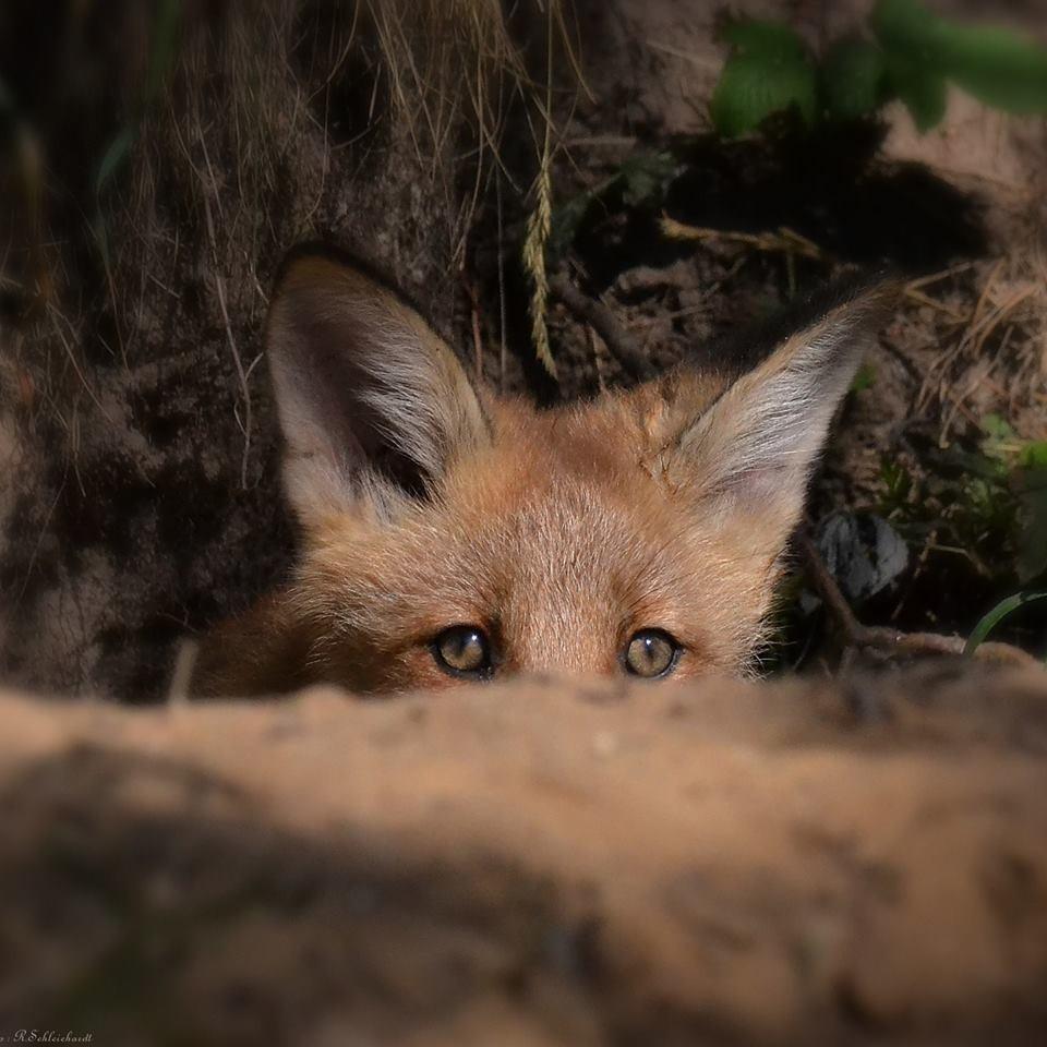 Jagdverbot auch auf Fuchswelpen in Luxemburg