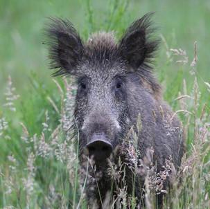 2,4 Millionen Wildschweine - Klöckner in Sachen Schwarzwild schlecht beraten