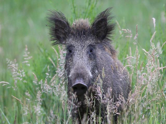 Wildsau - Zahl der Wildschweine nimmt zu
