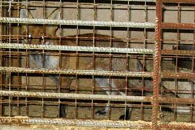 Fuchs im Zwinger einer Schliefanlage