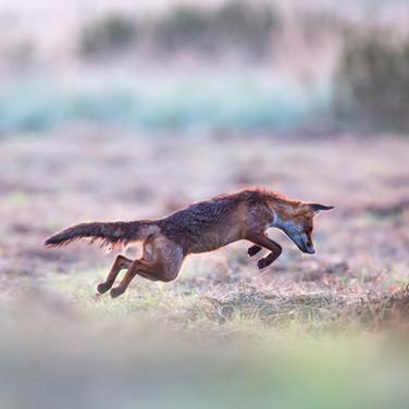 Fuchs beim Mäusesprung