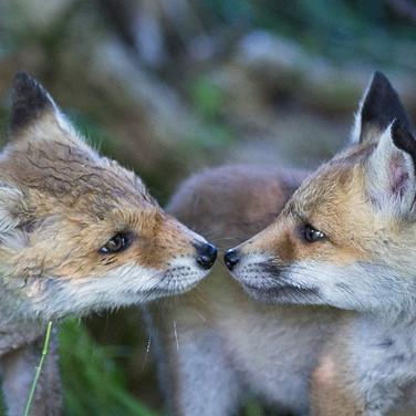 Zwei Jungfüchse - Gegen die Fuchsjagd in Deutschland
