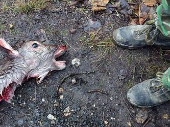 """Die """"Totmacher"""" sind wieder zugange - Drückjagden auf Wildschweine und Rehe"""