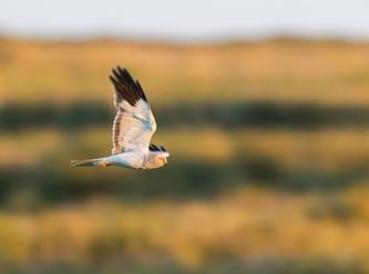 Nationalpark Niedersächsisches Wattenmeer: Kornweihe steht vor dem Aus
