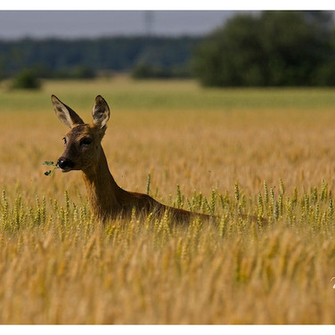 Reh im Getreidefeld - gegen die Jagd für Naturschutz
