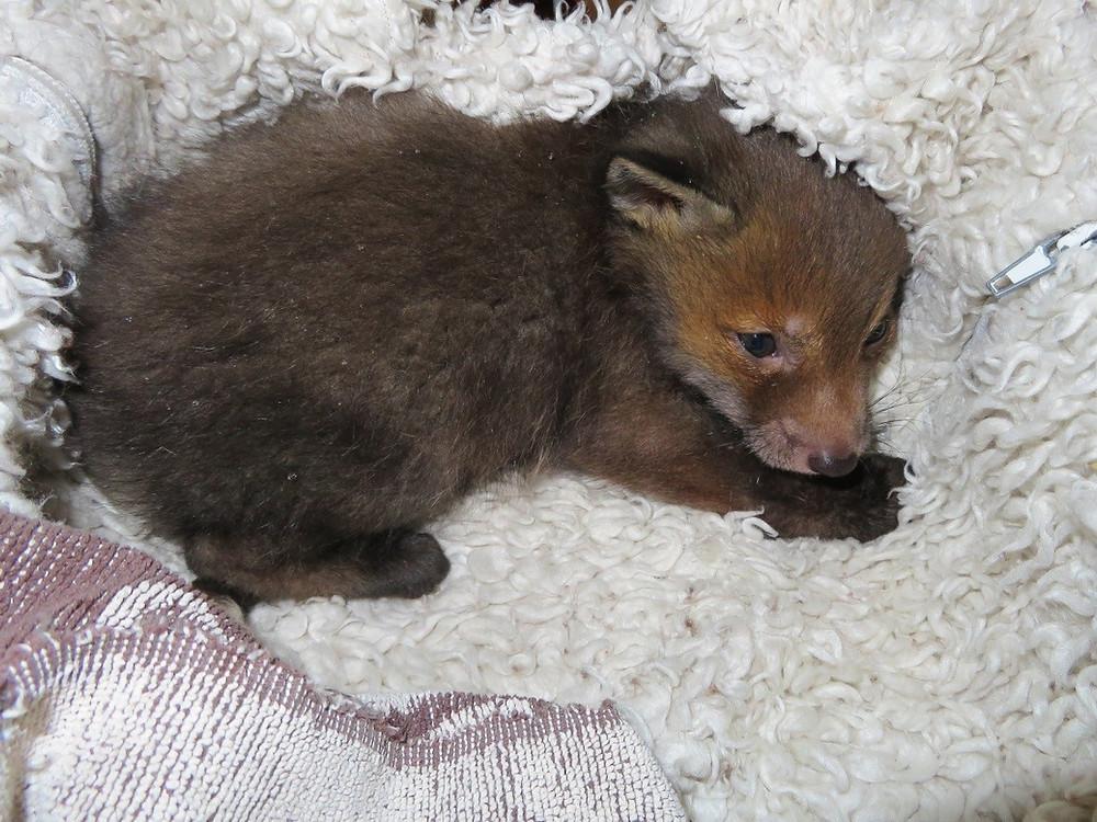Fuchswelpe Foxi