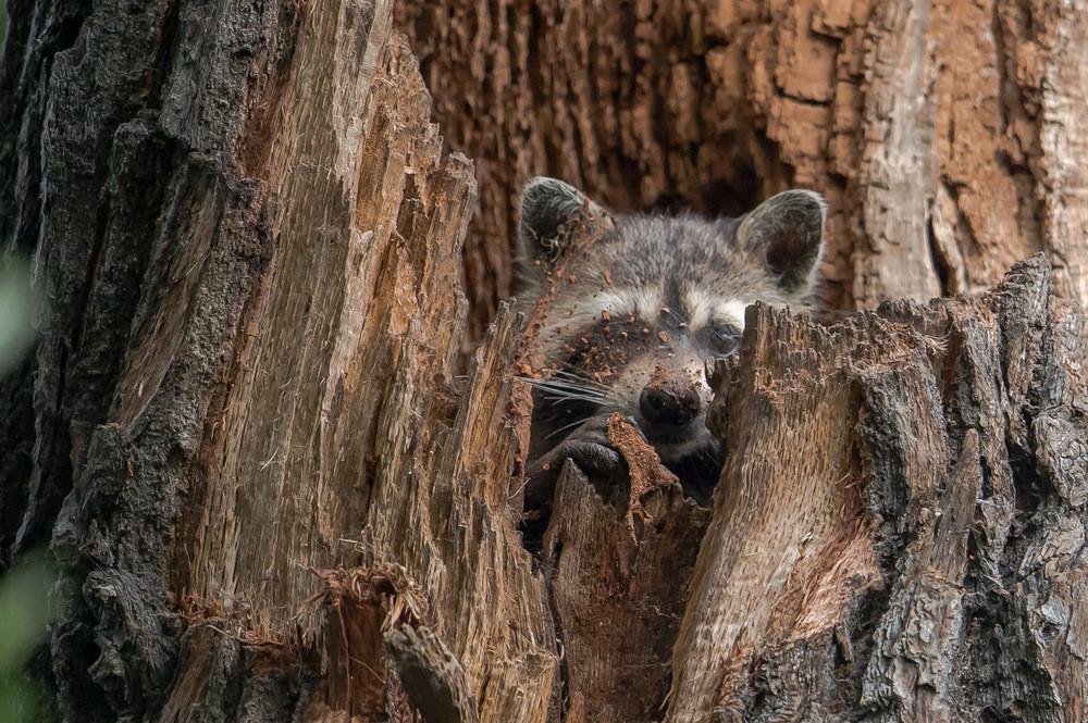 Waschbär in einer Baumhöhle