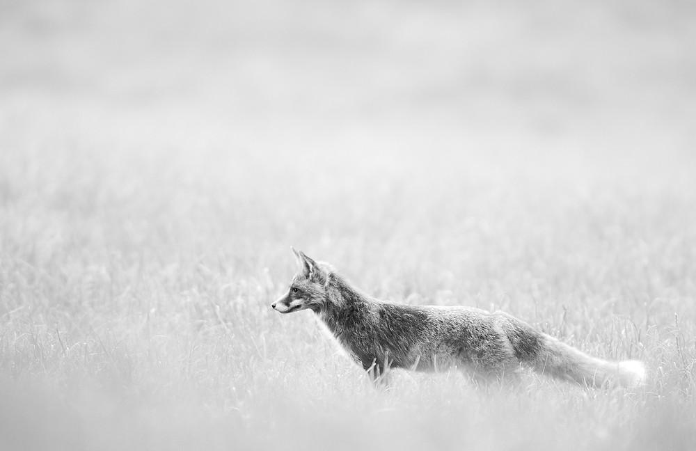 Fuchs im Feld
