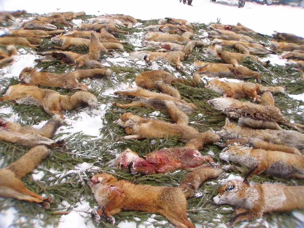 Tote Füchse nach einer Fuchswoche