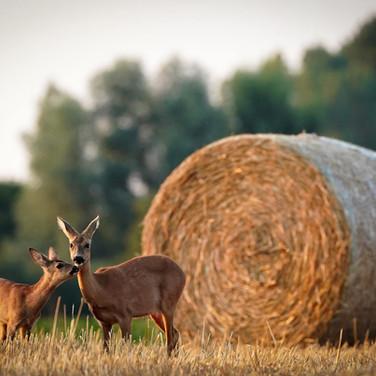 Ricke mit ihrem Jungtier - Gegen die Hobbyjagd für Wildtierschutz
