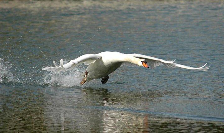 Höckerschwan im Abflug
