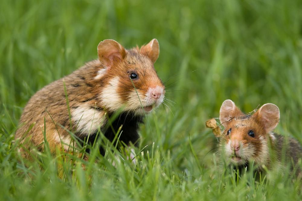 Hamster finden kaum noch Lebensraum