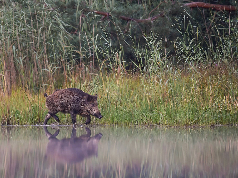 Wildschwein am Wasser