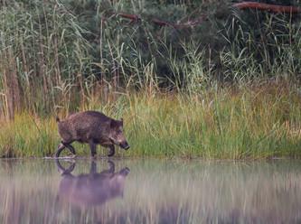 Intensivierung der Jagd auf Wildschweine ohne Nutzen gegen die Afrikanische Schweinepest
