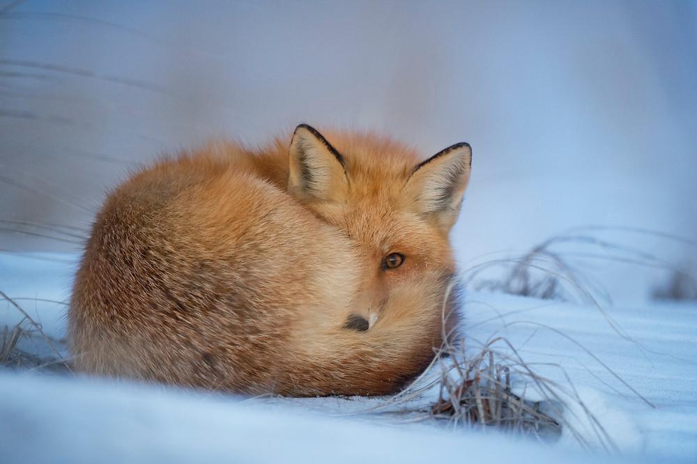 Fuchs ruht im Schnee