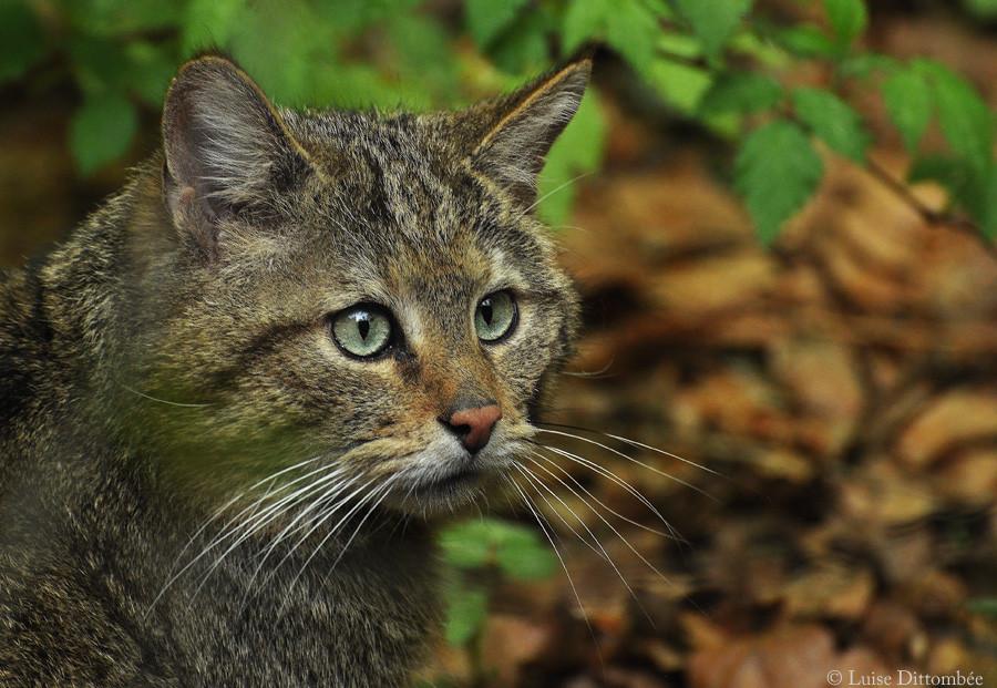 Portrait einer Wildkatze