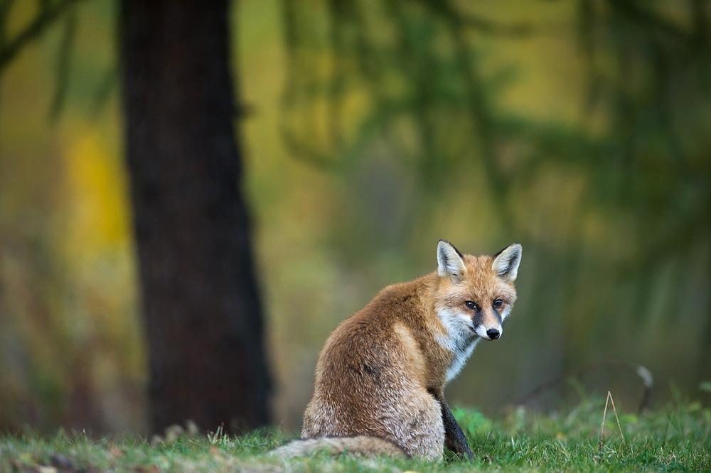 Schöner Fuchs