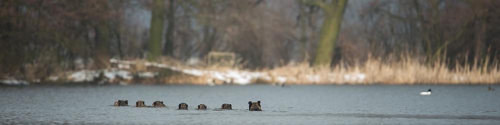 Wildschweine schwimmen an das andere Ufer