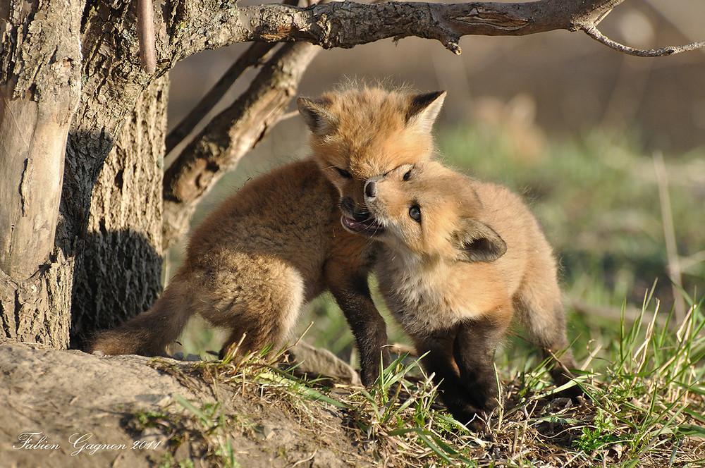Jäger haben kein Erbamen: erst werden die Welpen getötet, dann die Fuchsmutter. Allerdings ist das illegal.