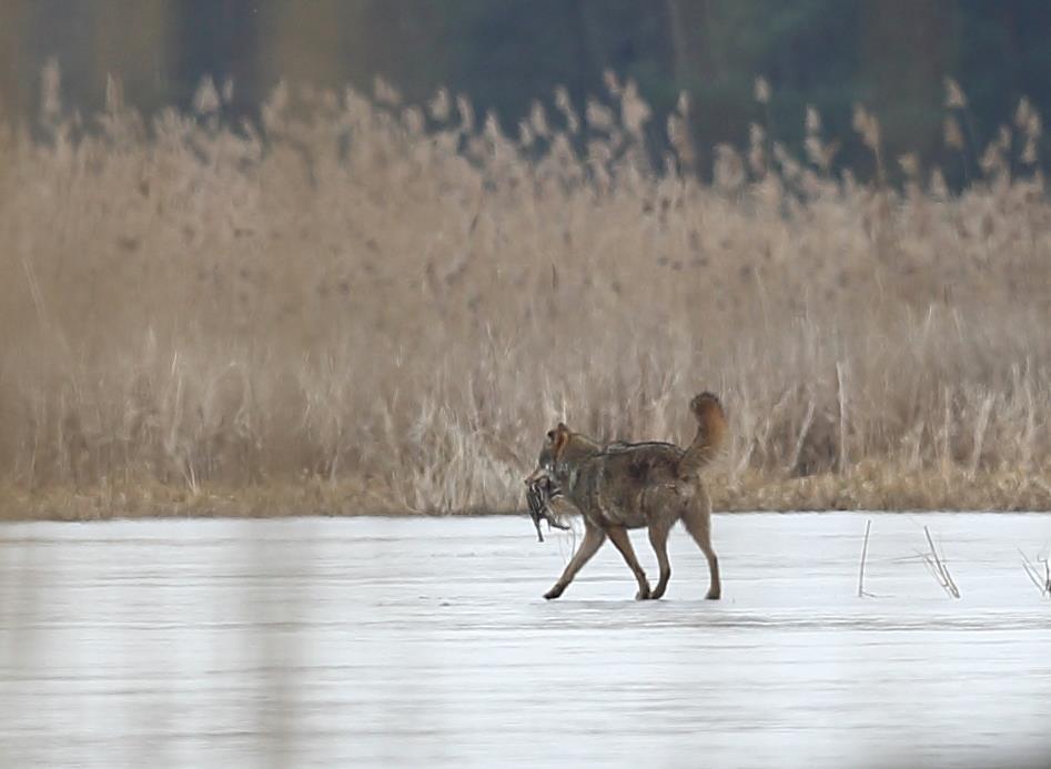 Wolf mit Frischling als Beute