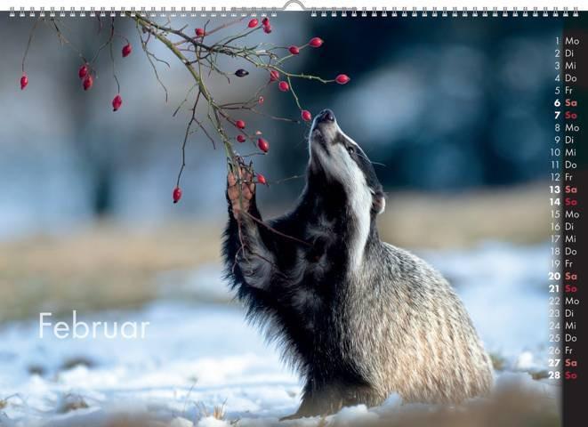 Dachs, Wildkalender 2021, Tierkalender, Wandkalender