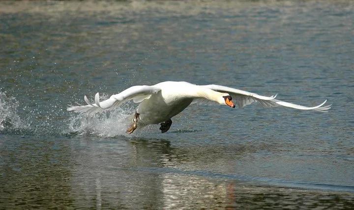 Höckerschwan beim Start über Wasser