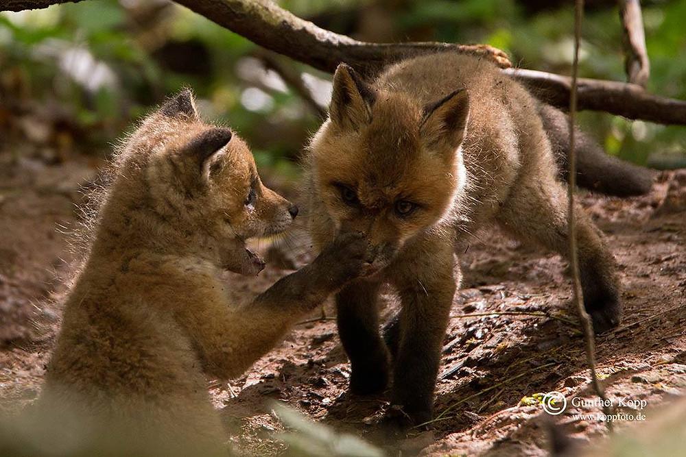 spielende Fuchswelpen am Bau