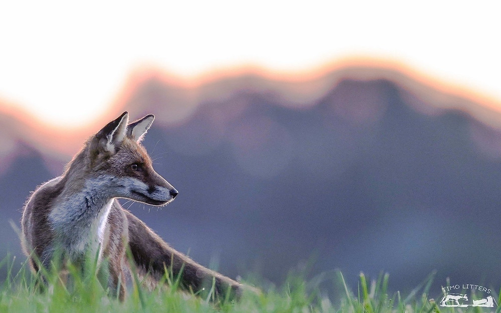 weiblicher Fuchs im Feld - Fuchsfähe
