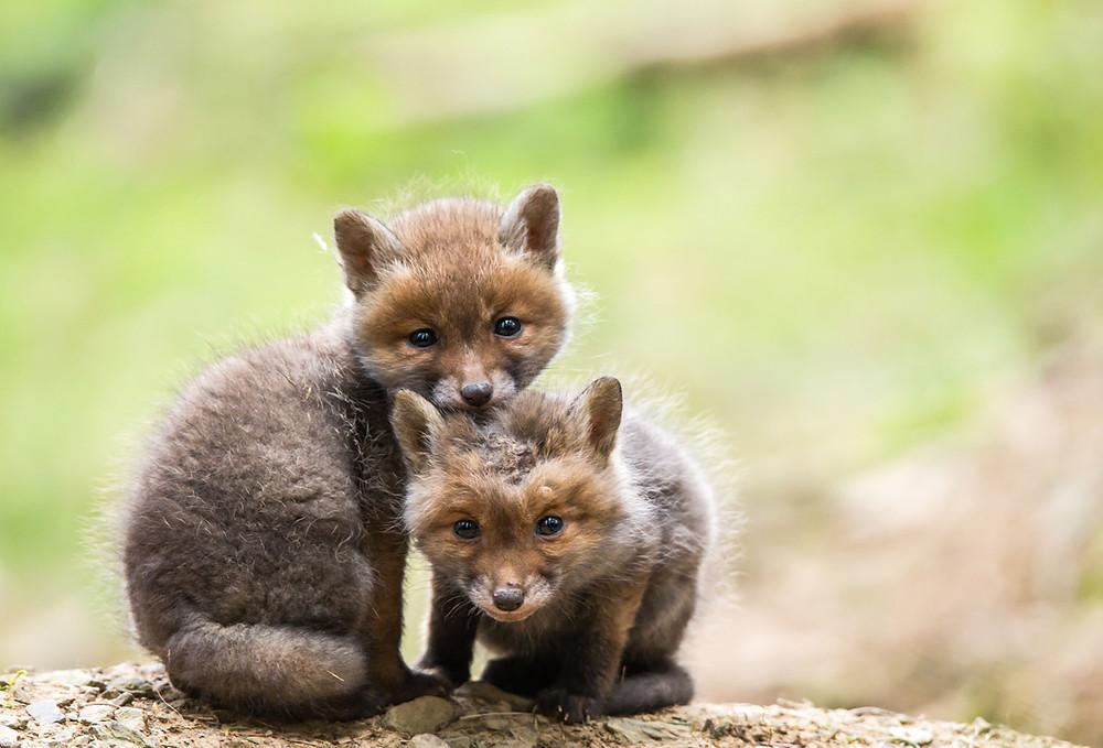 Zwei kleine Füchse, ein Welpe mit Glatze