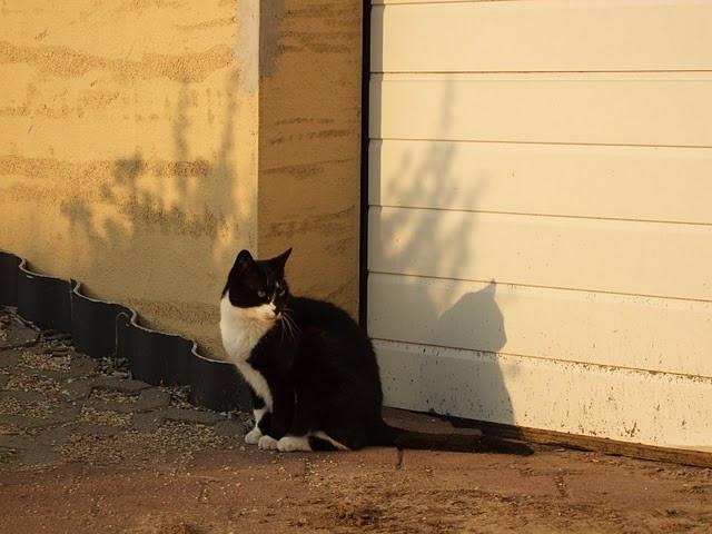 Schwarz-weiße Hauskatze vor dem Tor