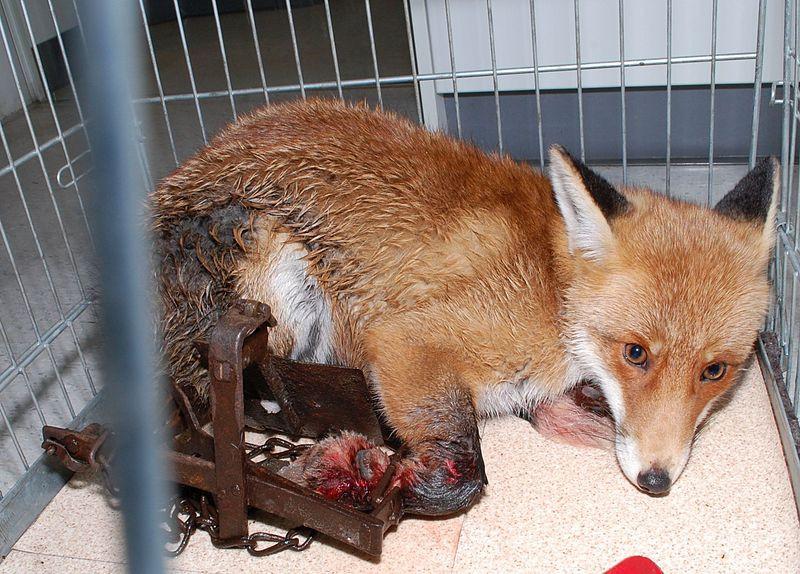 Fuchs in der Falle