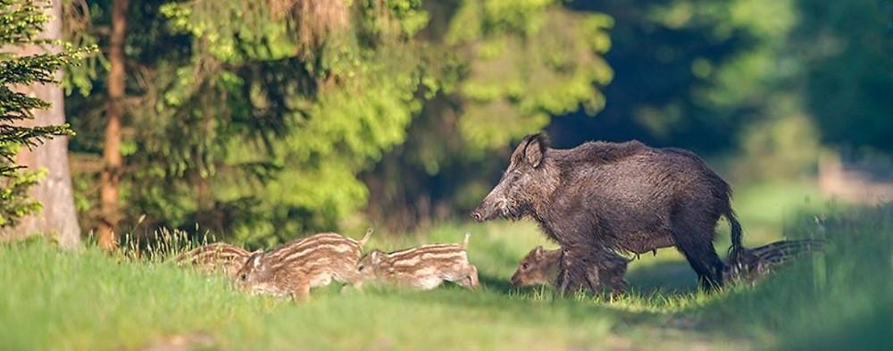 Wildschwein, Bache mit Frischlingen