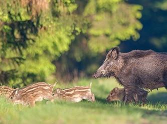 Petition: Keine Bogenjagd gegen Wildschweine in Brandenburg